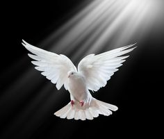 Photos Extra Dove1 8a0a30a599cdf8c38c90848f8ec2efb9--white-pigeon-white-doves