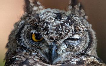 Photos Extra Owl Winking Owl_logo350