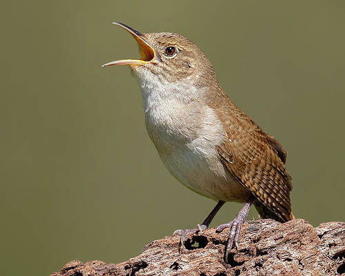 Homo Wren house-wren-calling-for-a-mate-jerry-fornarotto